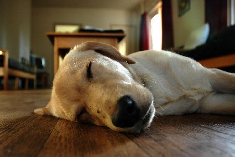Labrador dormindo