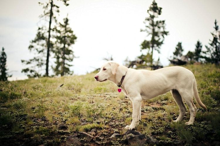 Labrador Retriever em pé