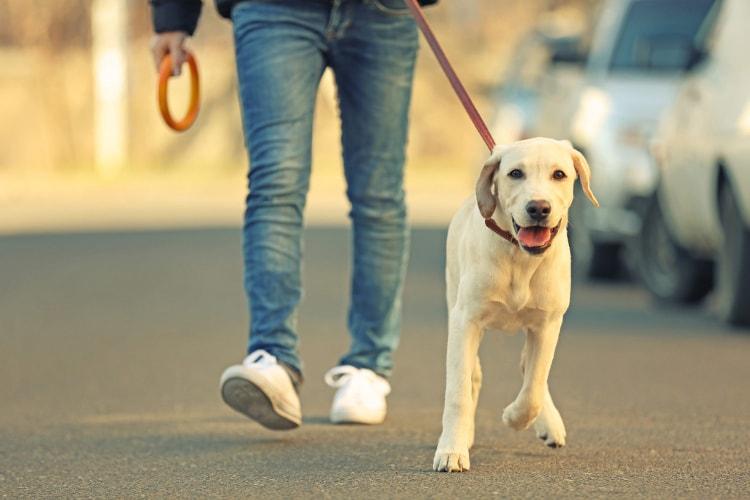 Labrador passeando com o dono