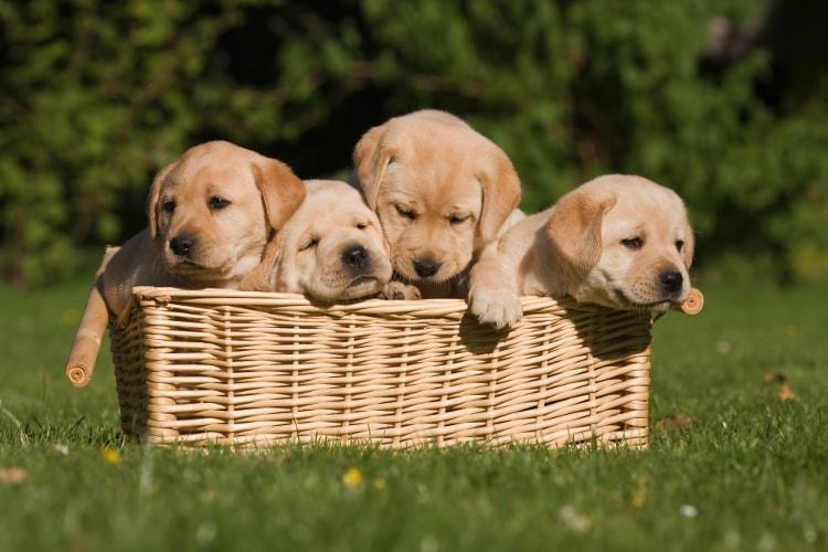 Labradores no jardim