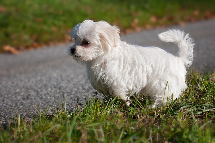 Maltês mini correndo na grama