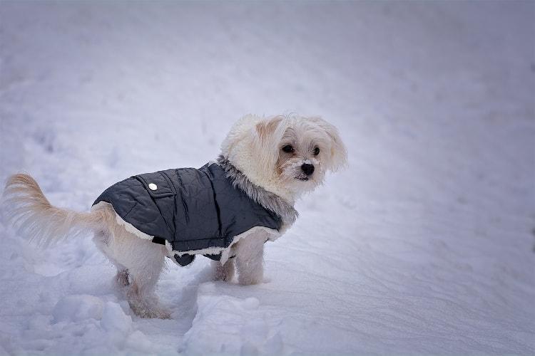 Maltês de casaco na neve
