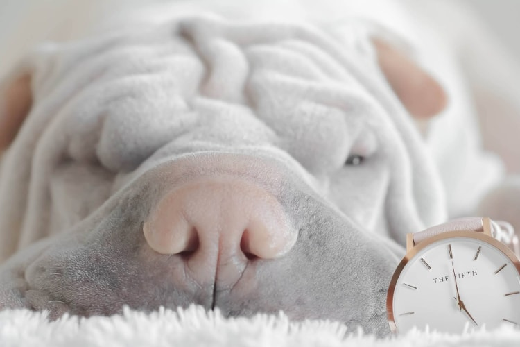 Shar Pei branco focinho rosa