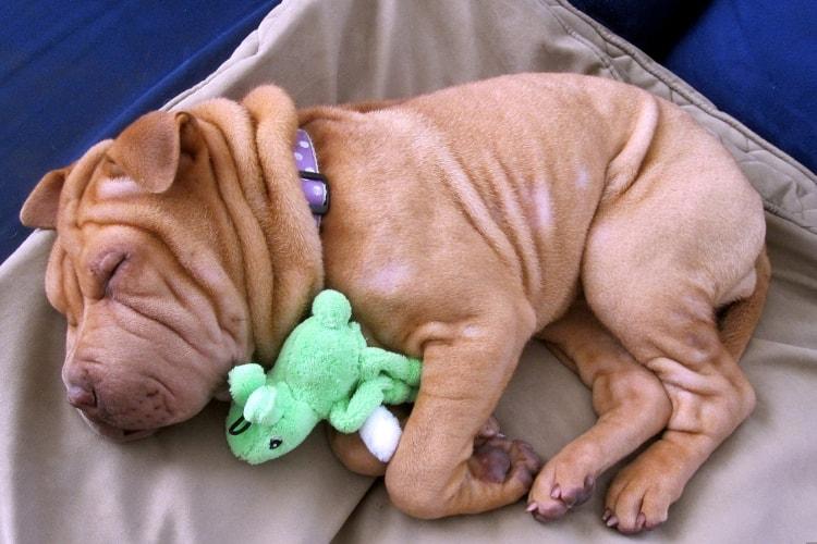 Shar Pei dormindo