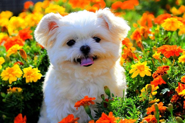 Shih Tzu no jardim de flores