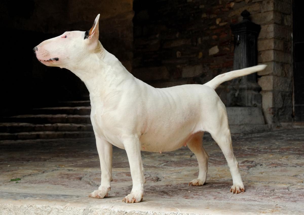 Bull Terrier branco deitado