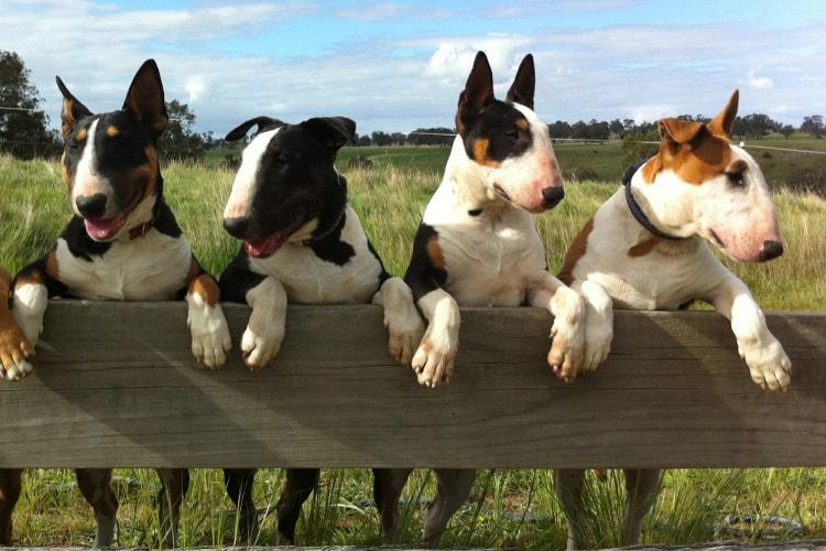 4 diferentes cores de Bull Terrier