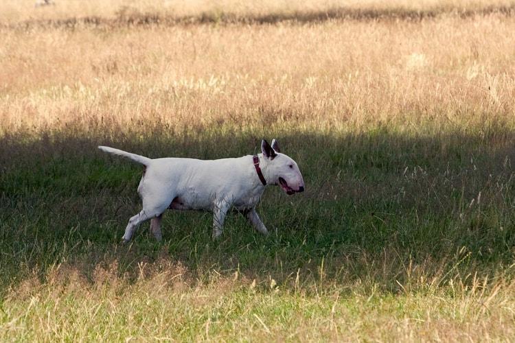 Bull Terrier em pé na grama