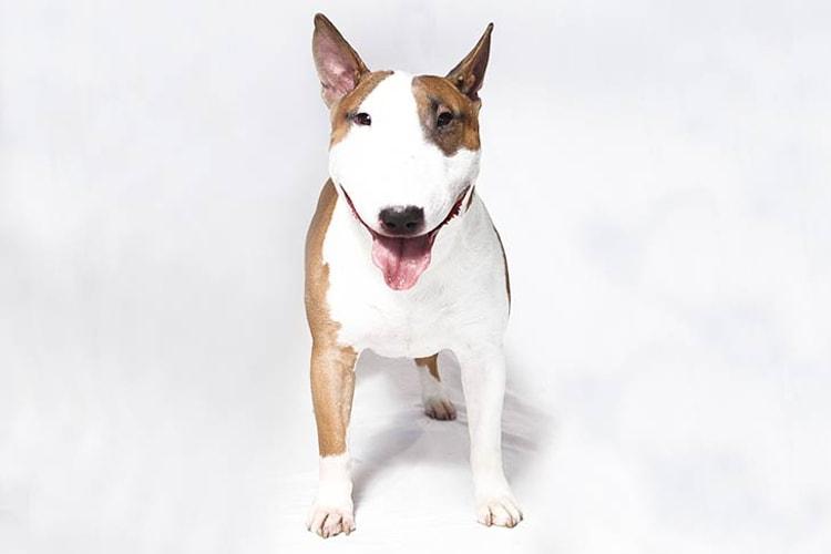 Bull Terrier de frente