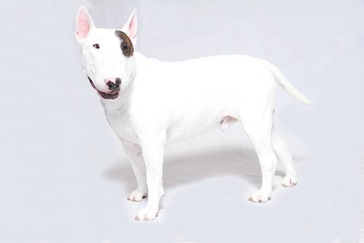 Bull Terrier de lado