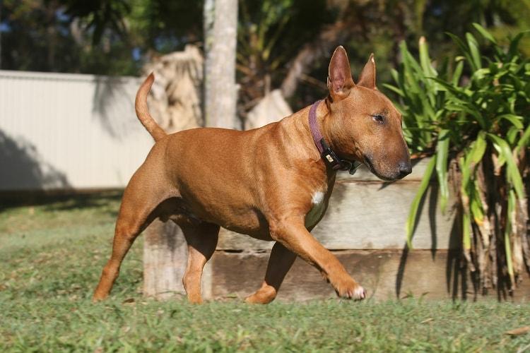 Bull Terrier marrom