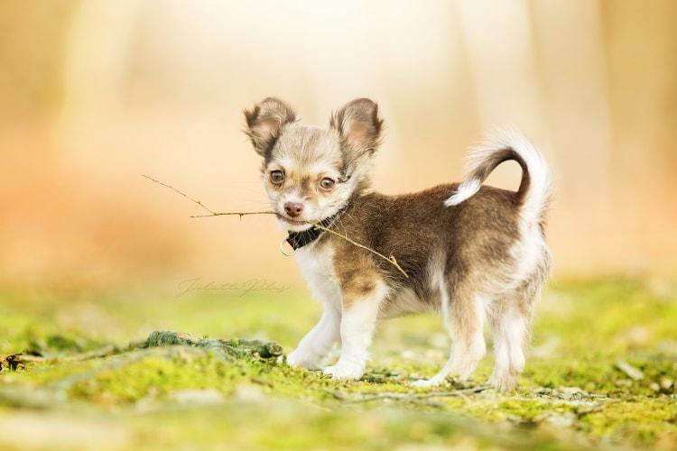 Chihuahua em pé