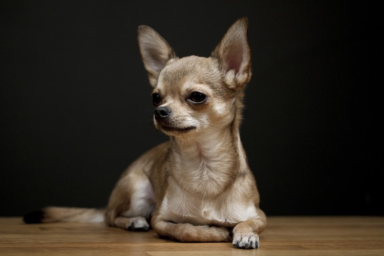 Chihuahua fundo preto