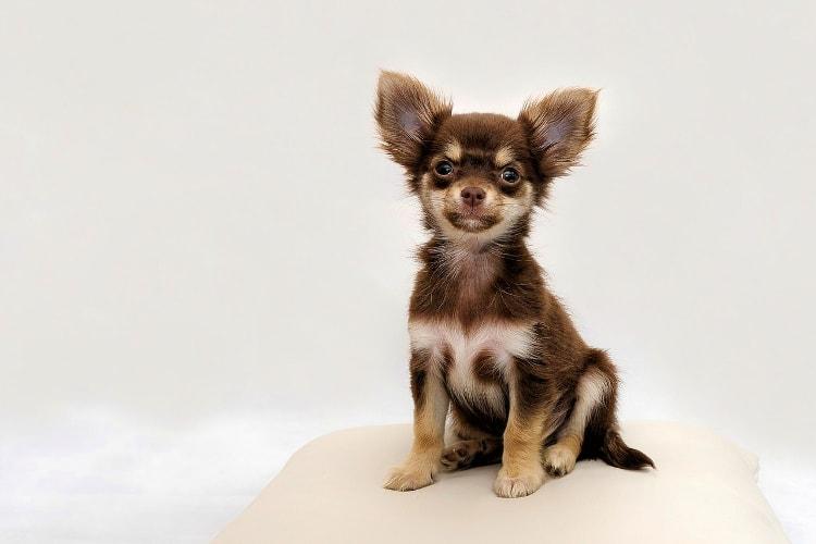 Chihuahua marrom sentado