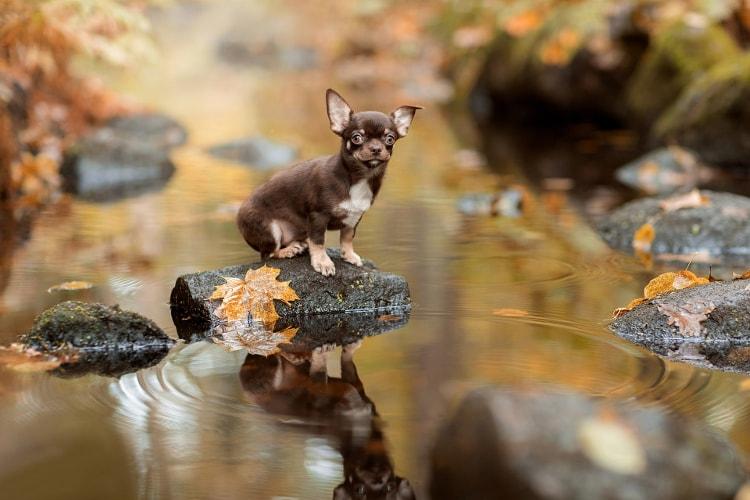 Chihuahua marrom