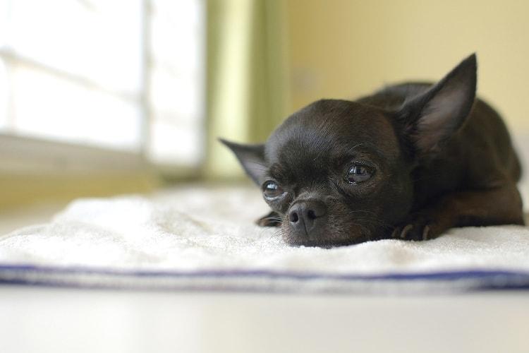 Chihuahua preto