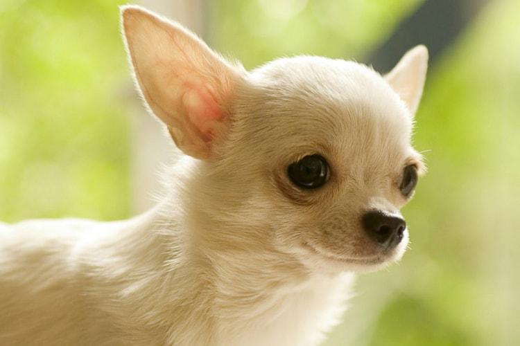 Tudo sobre a raça Chihuahua