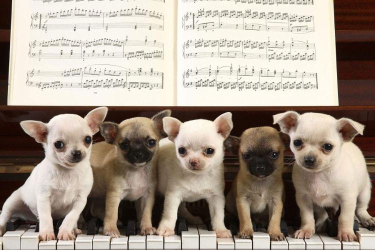 5 Chihuahua de cores diferentes