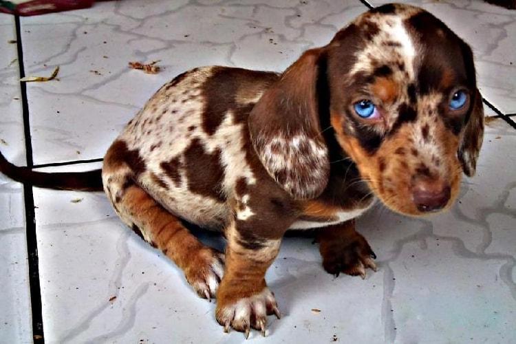 Dachshund arlequim com olho azul