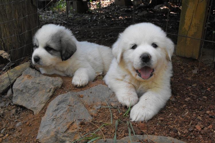 2 filhotes brancos de Terra-nova