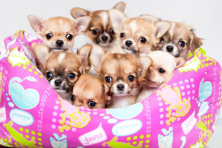 8 filhotes de Chihuahua em uma cesta rosa
