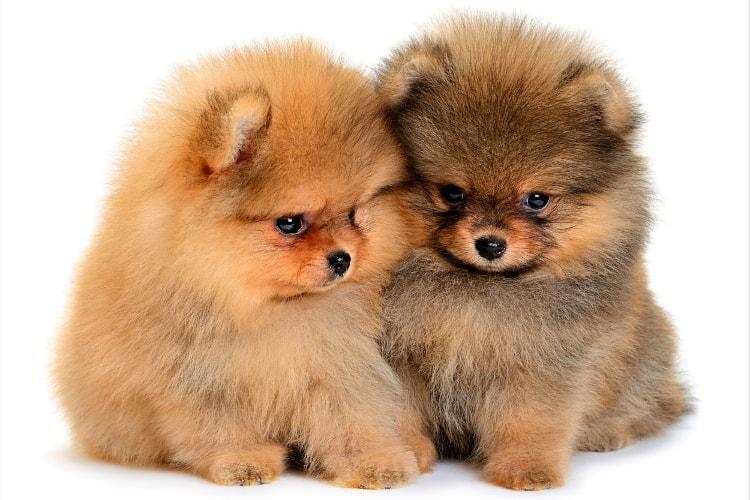 Dois filhotes de Spitz Alemão