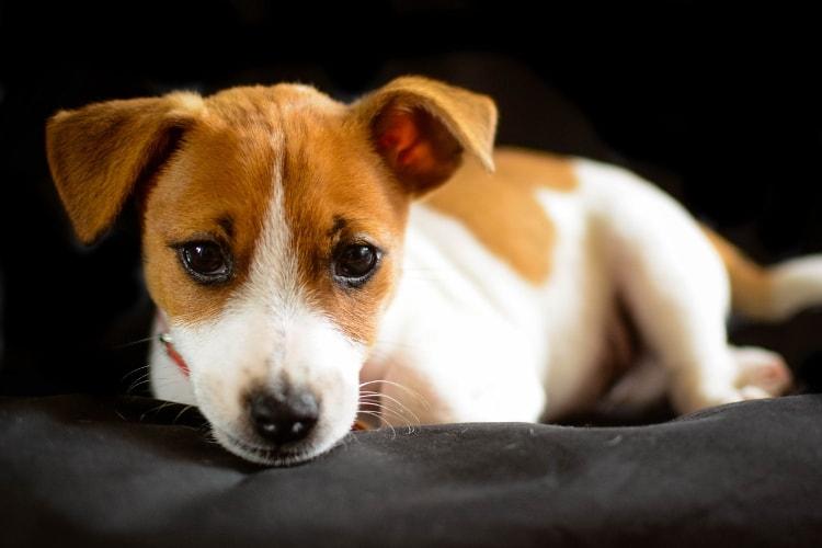 Jack Russell Terrier filhote