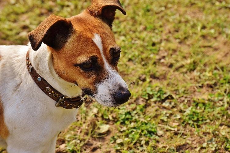 Jack Russell Terrier preço