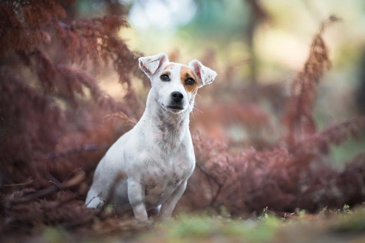 Jack Russell Terrier sentado