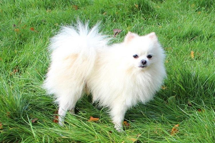 Lulu da Pomerânia branco na grama