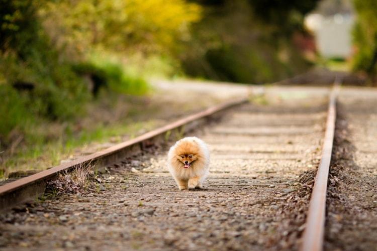 Lulu da Pomerânia anão trilho trem
