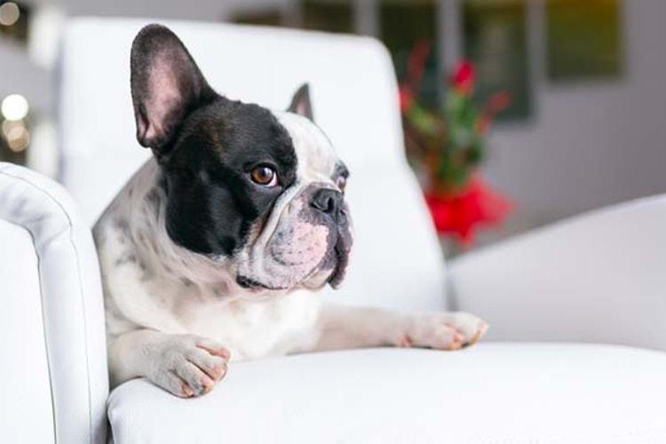 Cachorro preto e branco em um sofá branco