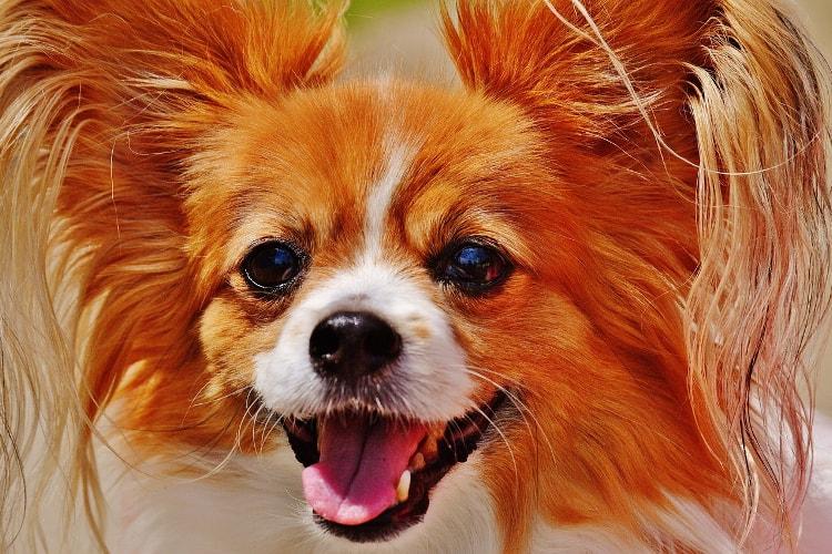 Perfil Chihuahua