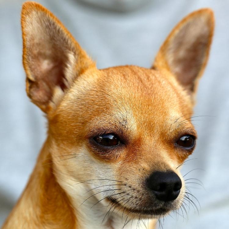 Personalidade do Chihuahua