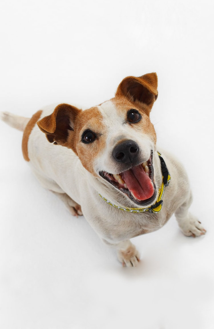 Personalidade do Jack Russell Terrier