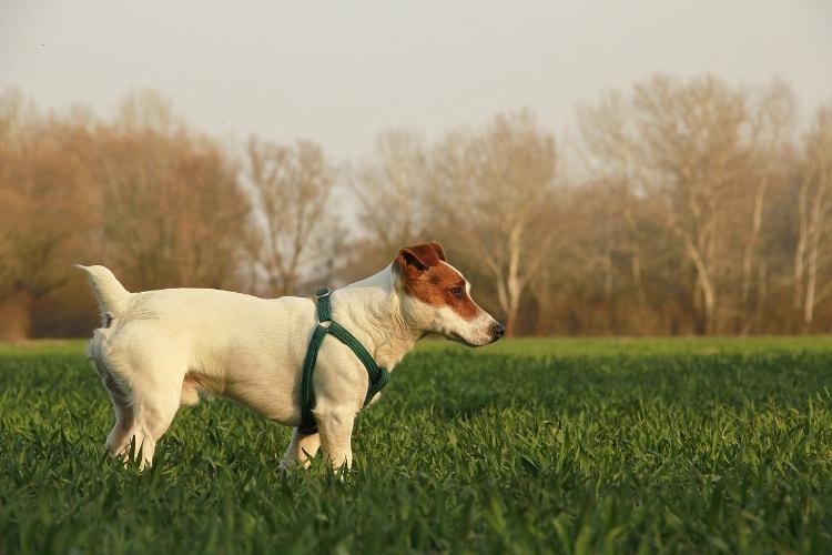 Jack Russel Terrier na grama