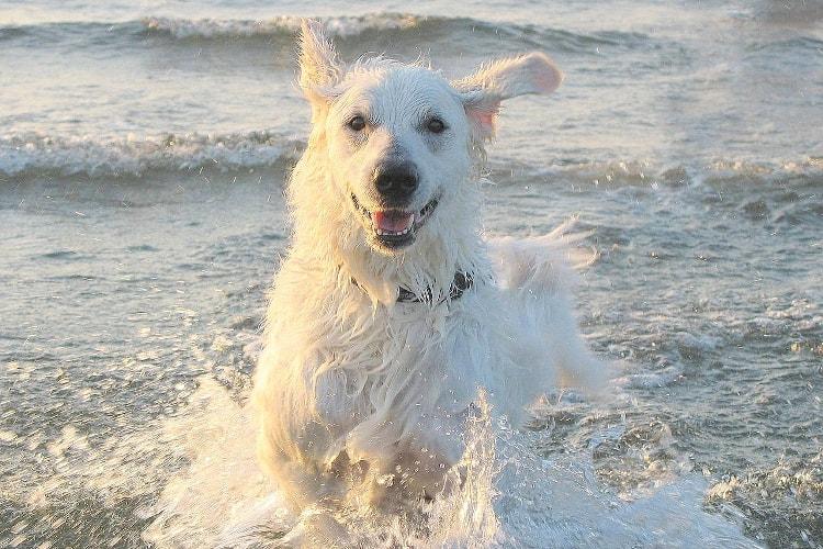 Kuvasz brincando na água