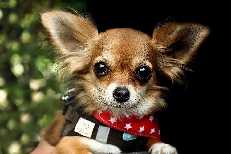 Rosto do Chihuahua