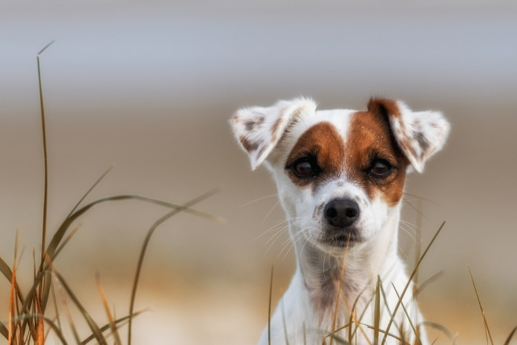 Rosto do Jack Russell