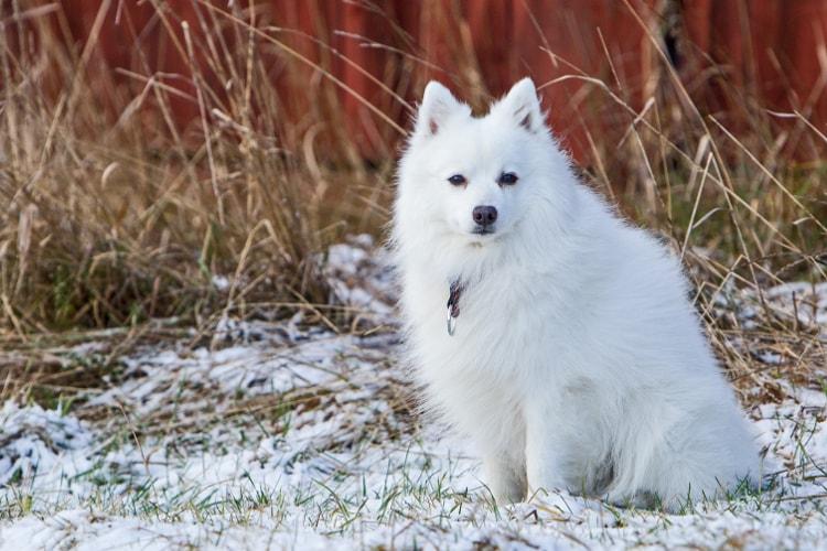Spitz Alemão branco na neve