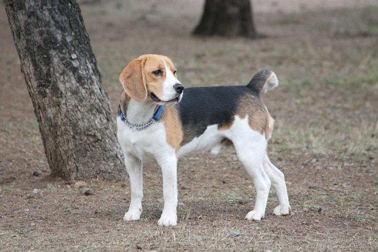 Beagle preto e marrom em pé