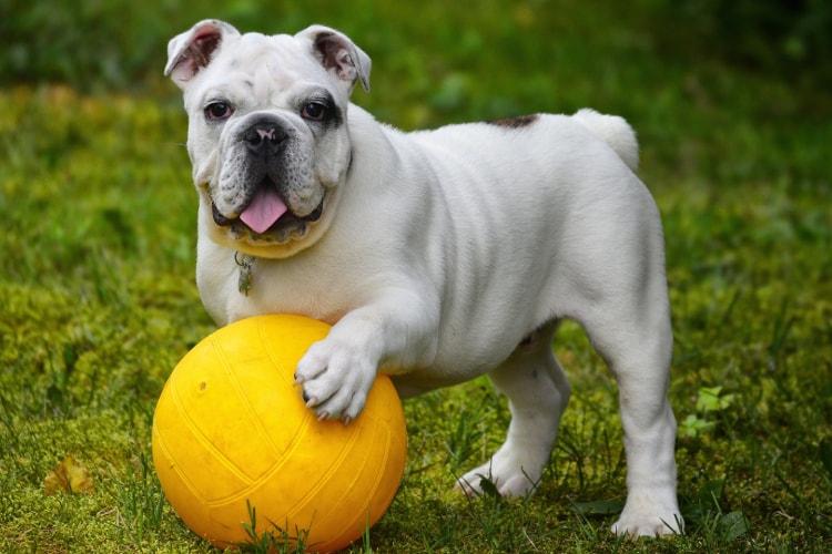 Bulldog Inglês e bola amarela
