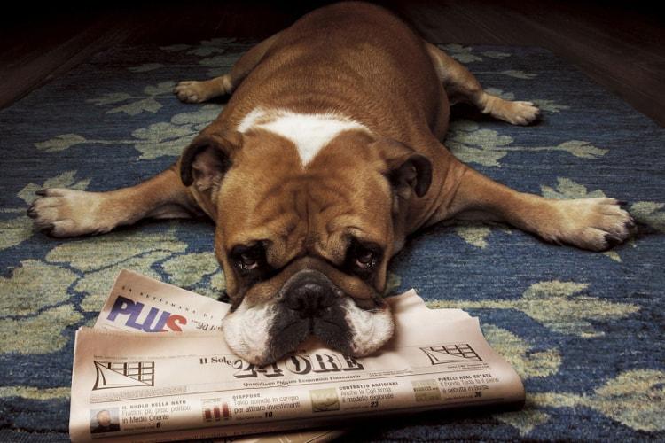 Bulldog Inglês deitado
