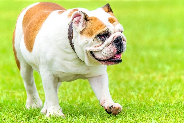 Bulldog branco e marrom na grama