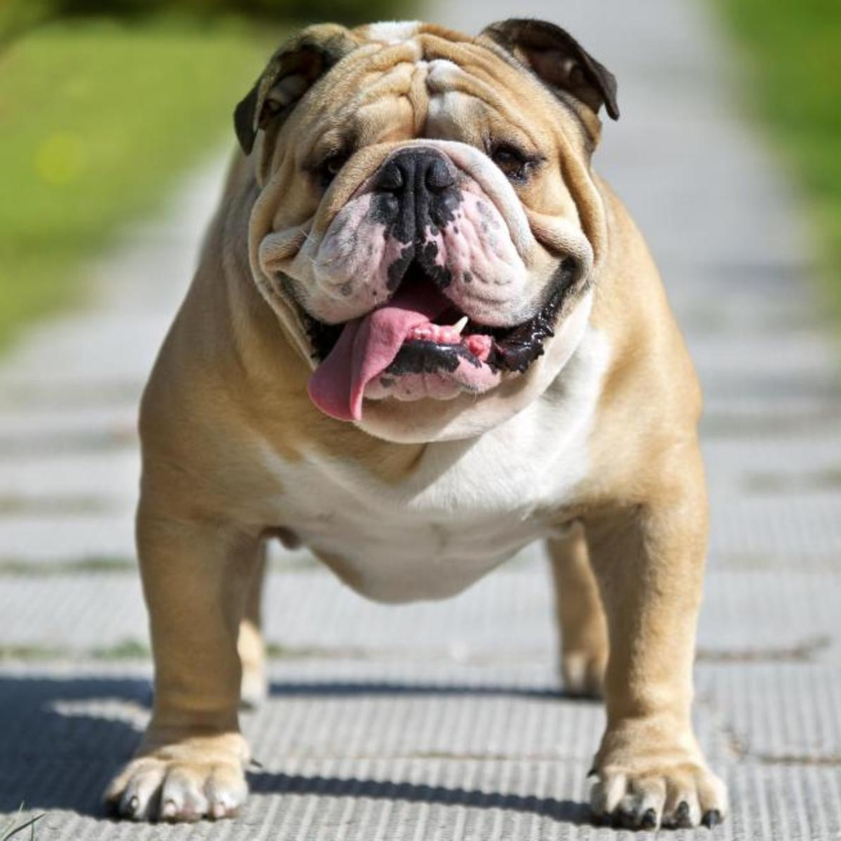 Personalidade do Bulldog Inglês