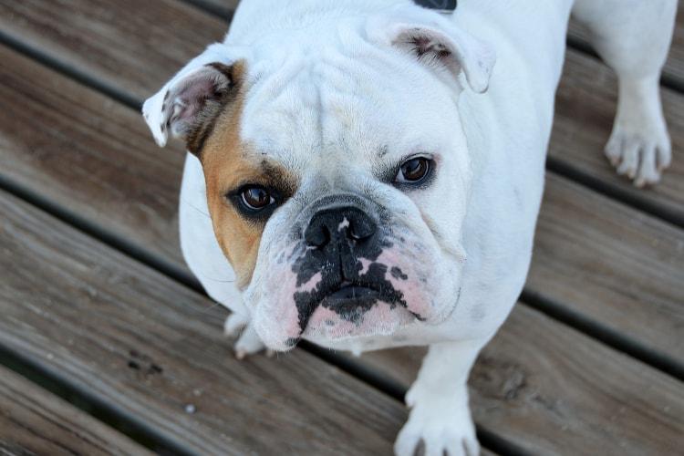 Bulldog Inglês preço