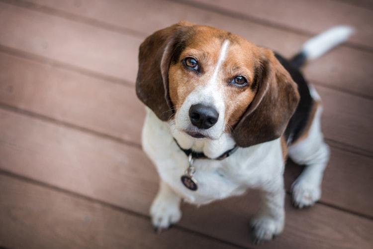 Beagle olhando para cima