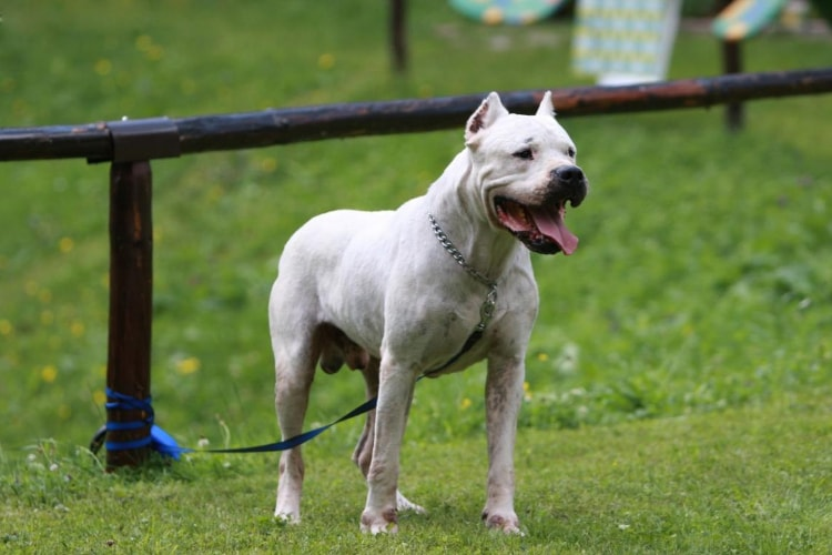 Dogo Argentino alerta grama