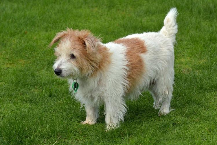 Norfolk Terrier branco na grama