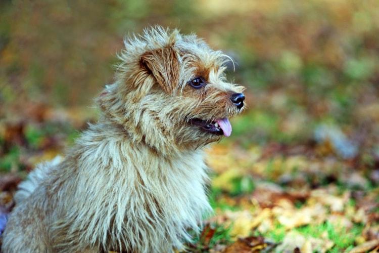 Preço Norfolk Terrier